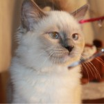 Adopted White and Grey Birman Cat