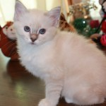 Adopted White Birman Kitten